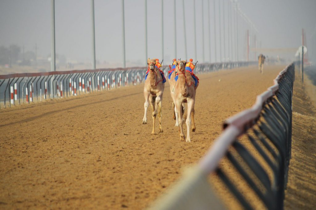 camel racing al ain
