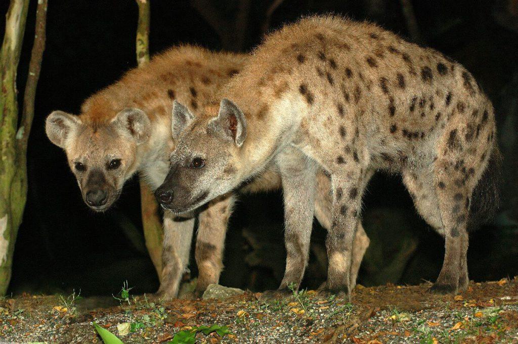 hyena at singapore safari park